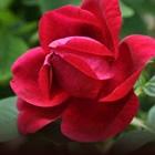 Rožni vrt burbonk